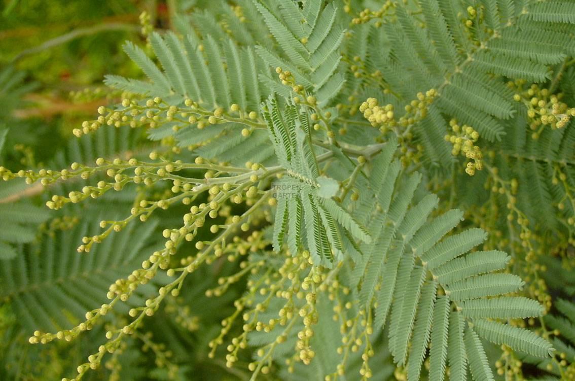 Acacia Dealbata Subalpina Ssp Subalpina Silber Akazie