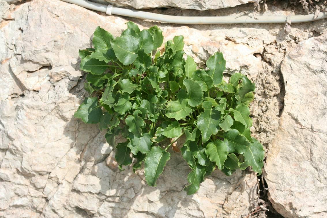 how to grow campanula pyramidalis