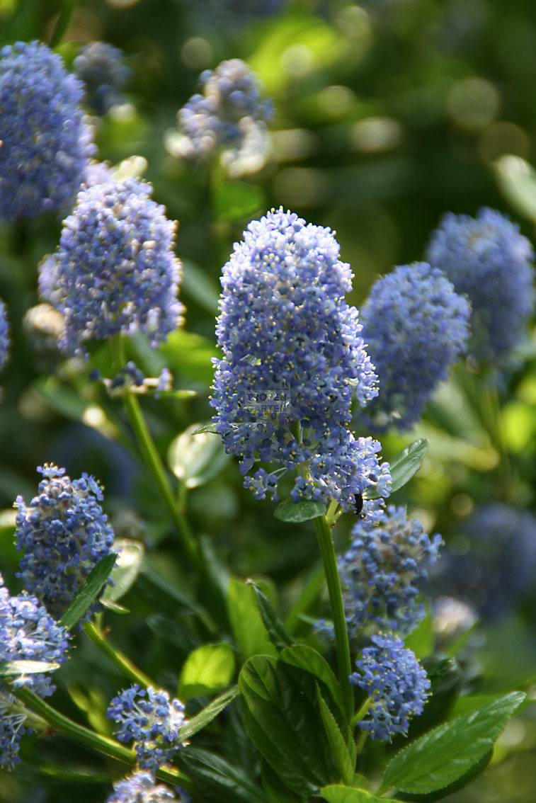 ceanothus sp 39 blue mound 39 ceanothus sp 39 concha 39. Black Bedroom Furniture Sets. Home Design Ideas