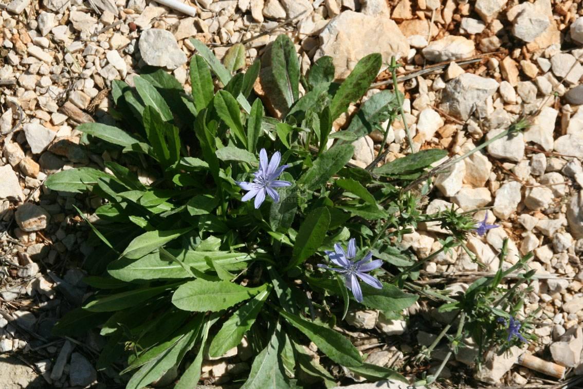 Cichorium Intybus Cichorium Byzantinum Cichorium Cicorea