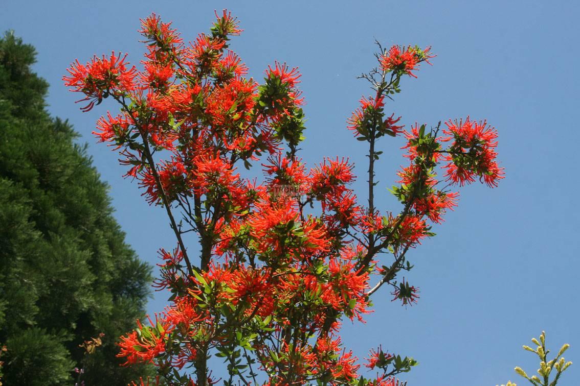 Embothrium coccineum Cerro Lopez San Martin Chilenischer
