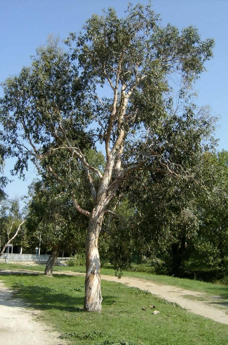 eucalyptus gunnii gunns eukalyptus. Black Bedroom Furniture Sets. Home Design Ideas