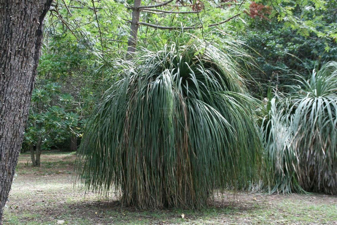 nolina longifolia beaucarnea longifolia. Black Bedroom Furniture Sets. Home Design Ideas