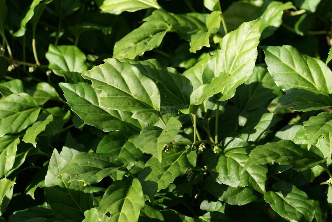 Pachysandra axillaris, Pachysandra stylosa, Pachysandra axillaris ...