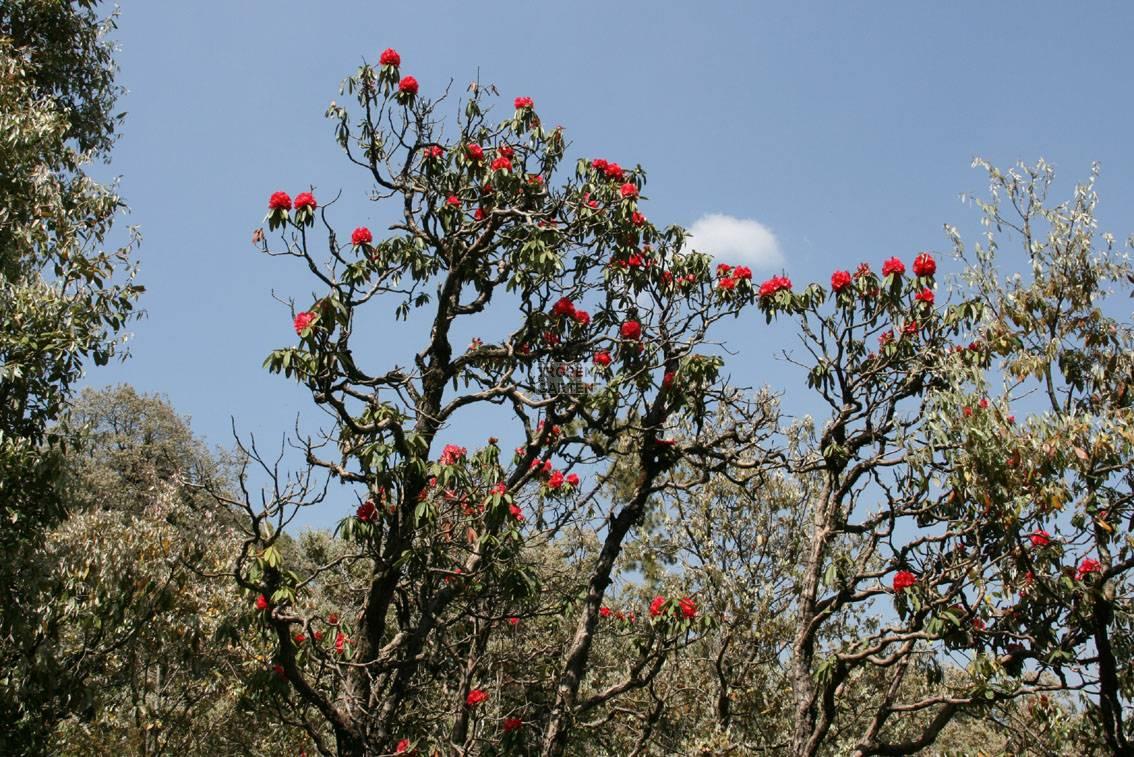 rhododendron arboreum, baum-rhododendron