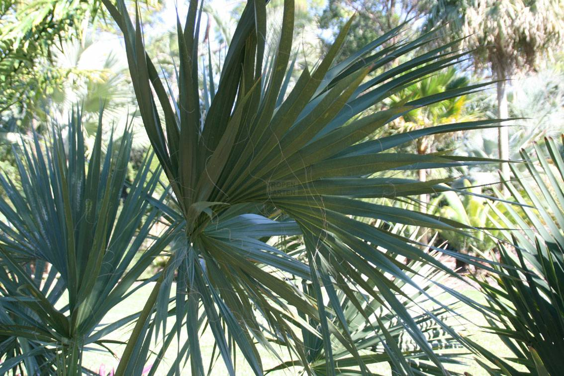 Sabal miamiensis for Jardines de harry p leu
