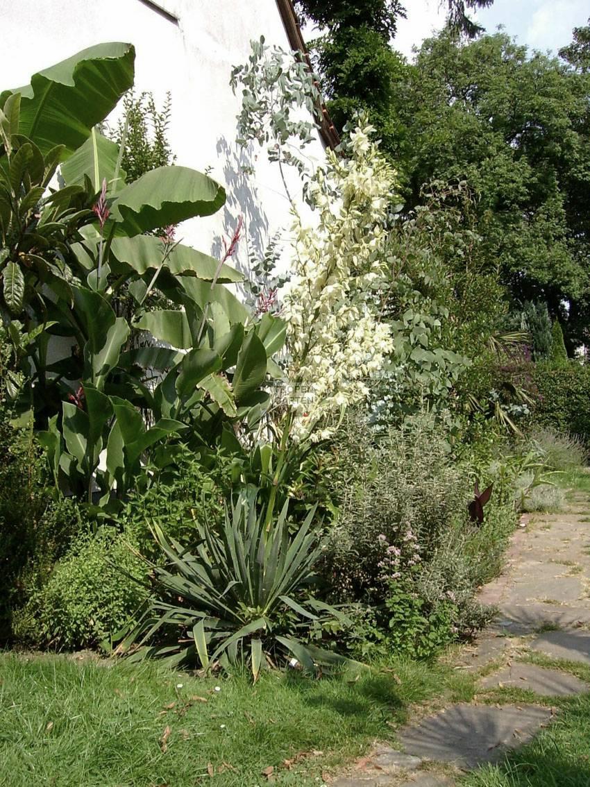 Yucca filamentosa yucca flaccida for Garten yucca ableger