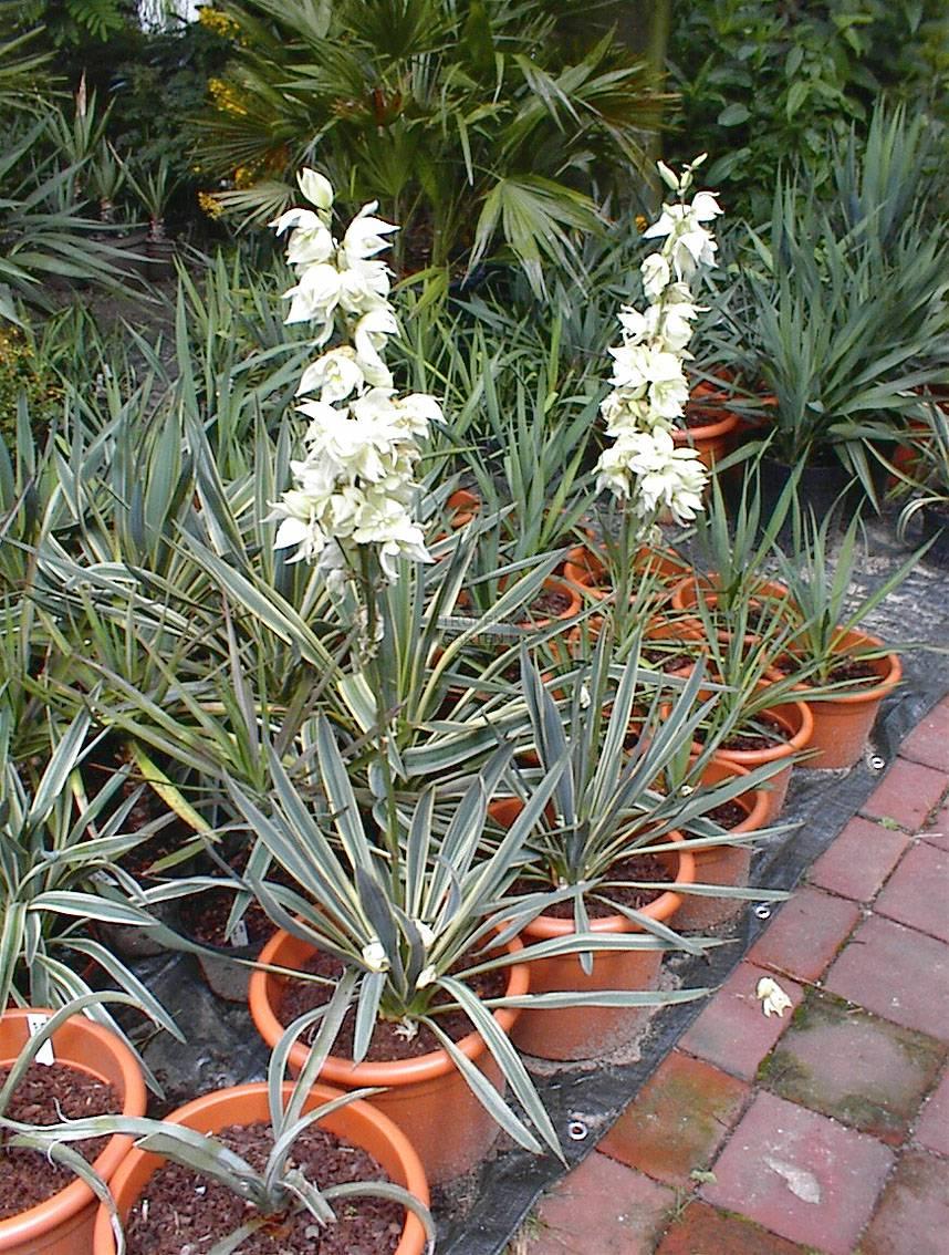 yucca filamentosa yucca flaccida f dige palmlilie. Black Bedroom Furniture Sets. Home Design Ideas